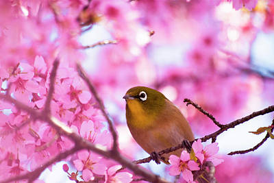 Pink Flower Branch Photograph - White Eye Bird by masahiro Makino