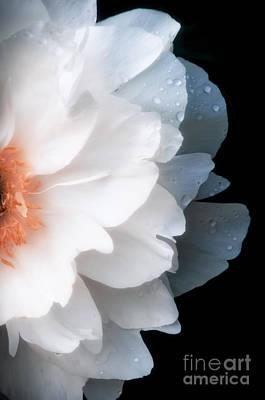 Peony Photograph - White Flower by Konstantin Sevostyanov