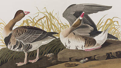Geese Drawing - White-fronted Goose by John James Audubon