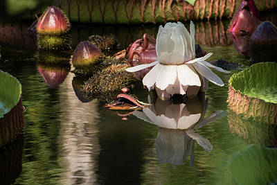 Victoria Cruziana Photograph - White Giant Water Lily by Zina Stromberg