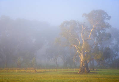 Adelaide Photograph - White Gum Morning by Mike  Dawson