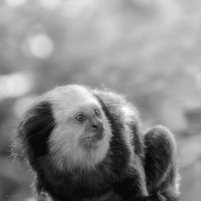 Greyscale Photograph - White-headed Marmoset by Wim Lanclus