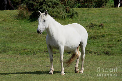 White Horse Print by Carl Whitfield