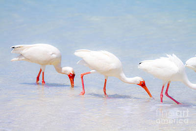 Ibis Photograph - White Ibis Feeding 3 By Darrell Hutto by J Darrell Hutto