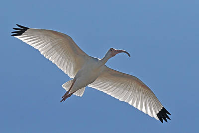 White Ibis Soaring Original by Alan Lenk