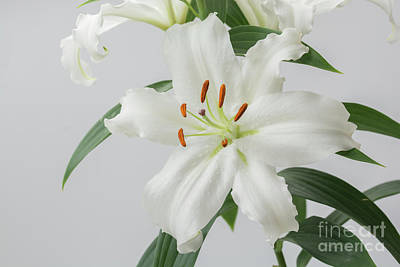 Photograph - White Lily 2 by Steve Purnell