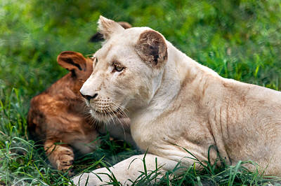 White Lion Cub Print by Jenny Rainbow