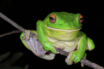 White-lipped Tree Frog Print by Bruce J Robinson