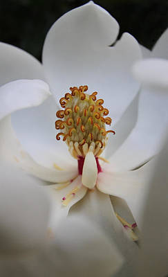 Acrylic Photograph - White Magnolia by Juergen Roth
