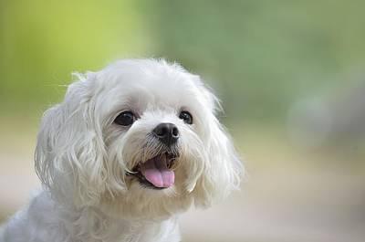 Maltese Photograph - White Maltese Dog Sticking Out Tongue by Boti