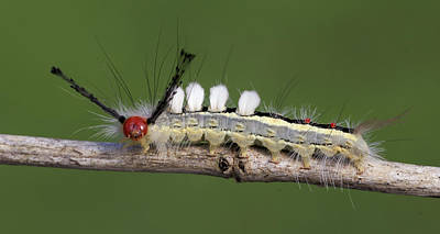 David E Lester Photograph - White-marked Tussock Moth 2 by David Lester