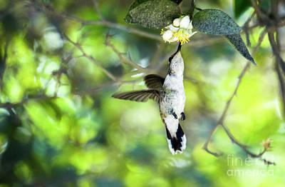 White-necked Jacobin - Florisuga Mellivora Photograph - White-necked Jacobin Florisuga Mellivora Hummingbird by Eyal Bartov
