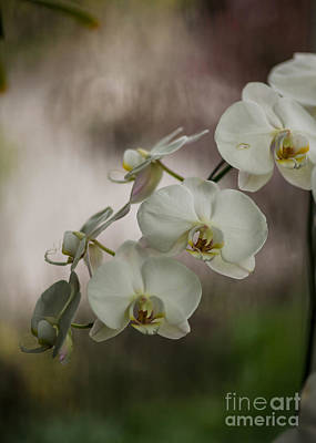 Orchids Photograph - White Of The Evening by Mike Reid