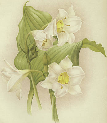 Orchids Drawing - White Orchids   Eucharis Sanderiana by English School