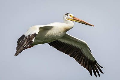 Photograph - White Pelican 2016-1 by Thomas Young