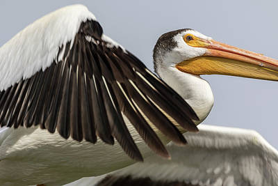 Photograph - White Pelican 2016-3 by Thomas Young
