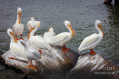 Galveston Photograph - White Pelicans by Inge Johnsson