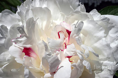 White Peony And Red Highlights Print by Steve Augustin