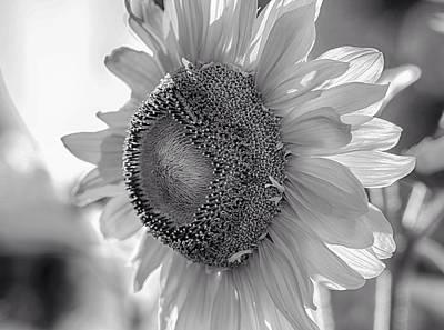 Flower Ers Photograph - White Petal Sunflower by Lynn Hopwood