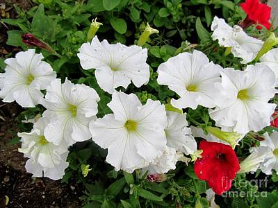 Flowers Photograph - White Petunias by Anthony Morretta
