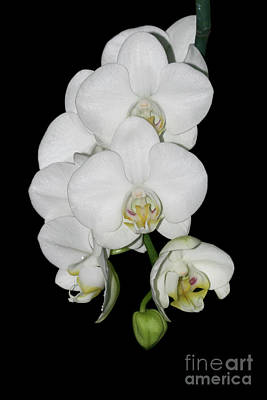 Flower Photograph - White Phalaenopsis Orchid by Judy Whitton