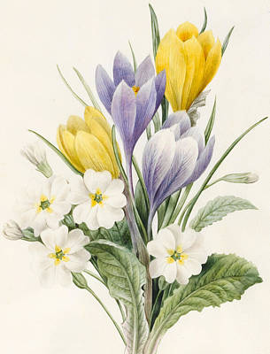 Early Spring Drawing - White Primroses And Early Hybrid Crocuses by Louise D'Orleans