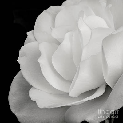 White Rose 5 Square Crop Print by Brian Luke