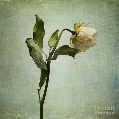 White Rose Desiccated Print by Bernard Jaubert