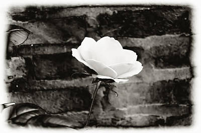 White Rose In Black And White Print by Bill Cannon
