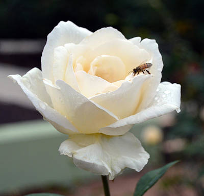 Rose Photograph - White Rose With Bee by Karen Sturgill