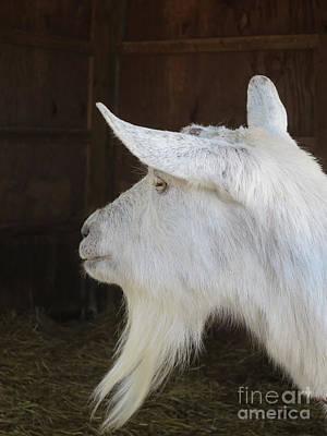 Saanen Goat Photograph - White Saanen Goat by Ann Horn