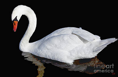 Swan Photograph - White Swan by David Millenheft