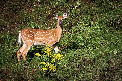 Photograph - White Tailed Deer September 2016 by Terry DeLuco