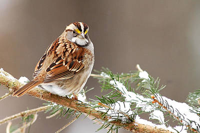 White Throated Sparrow Original by Alan Lenk