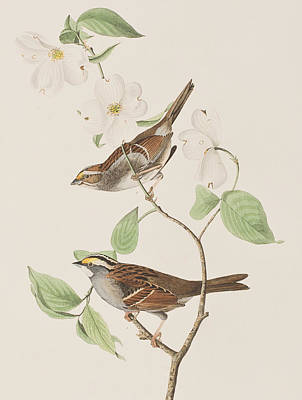 Sparrow Painting - White Throated Sparrow by John James Audubon