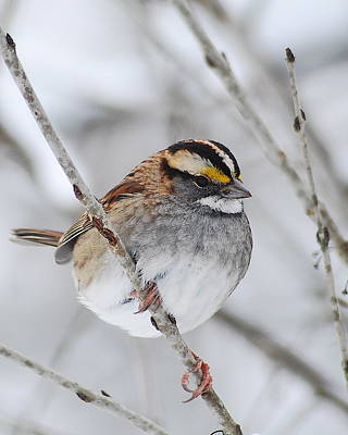 Sparrow Photograph - White Throated Sparrow by Michael Peychich