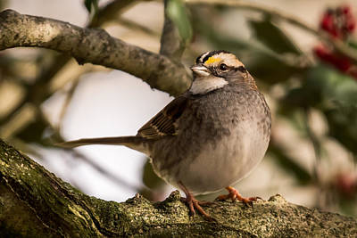 Photograph - White Throated Sparrow On Branch New Jersey by Terry DeLuco