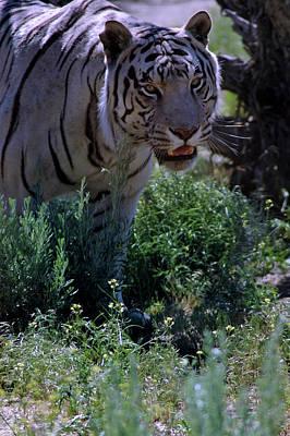 Cat Photograph - White Tiger Reno Nv by LeeAnn McLaneGoetz McLaneGoetzStudioLLCcom