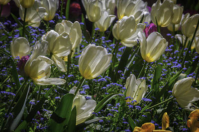 White Tulips In The Garden Print by Garry Gay