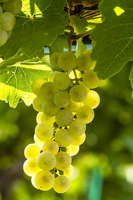 White Wine Grapes Lit By The Sun Print by Teri Virbickis