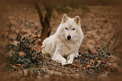 Arctic Wolf Photograph - White Wolf by Sandy Keeton