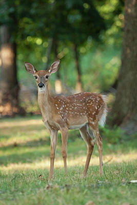 Whitetail Deer Fawn Print by Erin Cadigan