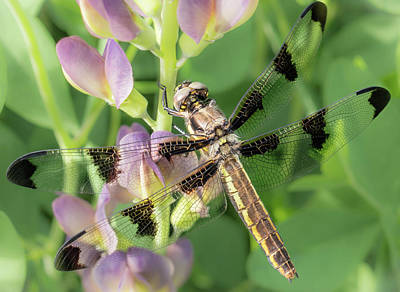 Macro Dragonfly Photograph - Whitetail Dragonfly On False Indigo by Jim Hughes