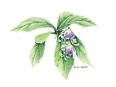 Aster Drawing - Whorled Wood Aster by Betsy Gray