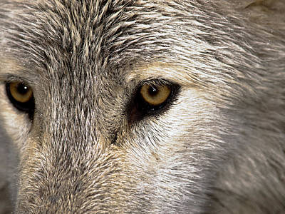 Black. Timber Wolf Photograph - Whos Afraid by Jim DeLillo