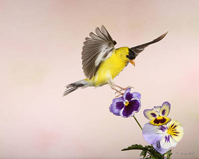 Who's The Pansy Now Print by Gerry Sibell
