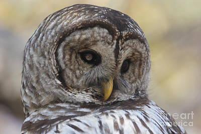 Wild Barred Owl Print by Morgan Hill