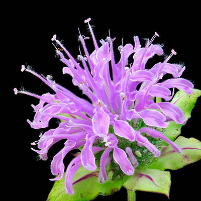 Violet Photograph - Wild Bergamot Also Known As Bee Balm by Jim Hughes