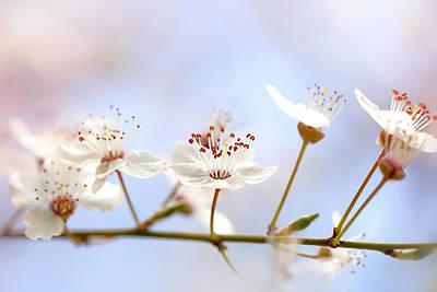 Wild Cherry Blossom Print by Jacky Parker