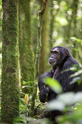 Ape Photograph - Wild Chimpanzee In The Tropical Rain Forest Of Uganda by Dirk Ercken